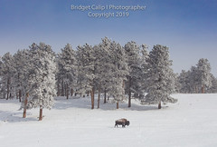 Where the Buffalo Roam (Bridget Calip - Alluring Images) Tags: 2019 alluringimagescolorado bridgetcalip buffalo colorado jeffersoncounty winter allrightsreserved animal bison cold coniferioustrees copyrighted elk fog freezing frostytrees genesee grazing heard lowvisibility overlook snow snowcovered