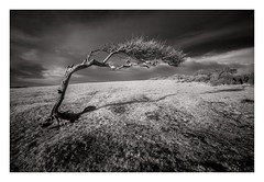Went Hill - March 4th (Edd Allen) Tags: sea seascape seaside shore shoreline atmosphere sunrise grass wind atmospheric clouds landscape uk nikond810 zeissdistagon 18mm infrared bw blackandwhite wenthill england eastsussex birlinggap countryside country farm tree lonetree windswept