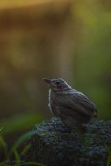 white-browed bulbul (Pycnonotus luteolus) chick (Chathuruka Ranawaka) Tags: whitebrowed bulbul pycnonotus luteolus chick nature wildlife bird birdsphotography beautifulnature sri lanka