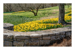 Daffodils in Spring (Bob C Images) Tags: flowers daffodils buttercups spring gardens fence trees cheekwood nashville tennessee