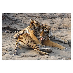 Bengal Tiger Tigress with Cub, Noor, Ranthambhore National Park, Rajasthan, India (Monica Max West) Tags: india indianwildlife wildlife wildlifephotography tiger bengaltiger bigcat monkey primate wild nature freedom canine