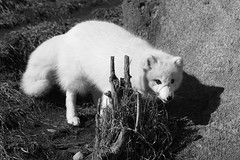 Artic Fox 05 (RichKD) Tags: detroit zoo winter animals nature canon 5d eos artic fox cute black white light dark shadow baw bw