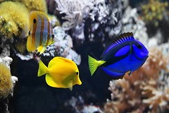 5 Tips for Acclimating New Residents to Your Fish Tank (aquaticwarehouse858) Tags: seafishbluetangbutterflyfishyellowtangregaltangpalettesurgeonfishroyalbluetanghippotangflagtailsurgeonfishbluesurgeonfishsurgeonfishcopperbandzebrasomabeakcoralfishsaltwaterfishseasaltwaterfishcoralcoral seafish bluetang butterflyfish yellowtang regaltang palettesurgeonfish royalbluetang hippotang flagtailsurgeonfish bluesurgeonfish surgeonfish copperband zebrasoma beakcoralfish saltwaterfish sea saltwater fish coral coralreef reef animal aquarium tropicalfish fishtank nature underwater travel water wildlife vacations tropicalclimate pets beautyinnature zoology swimming motion diving transparent multicolored yellow violet blue orange black life colorimage photography horizontal poland