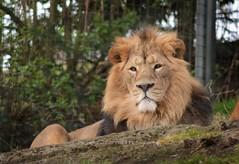 Asiatic Lion (Michelle O'Connell Photography) Tags: scotland edinburghzoo edinburgh lion asianlion asiaticlion nature natureandwildlife wildlifephotography enclosure michelleoconnellphotography