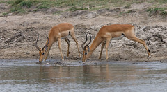 Impala rams -8441 (Theo Locher) Tags: aepycerosmelampus impala zoogdieren southafrica zuidafrika krugernationalpark kruger copyrighttheolocher