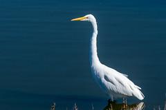 Foraging Great Egret (MelRoseJ) Tags: sunnyvale california unitedstatesofamerica us nature northerncalifornia bayarea birds sony sonyilca77m2 sal70200g alpha