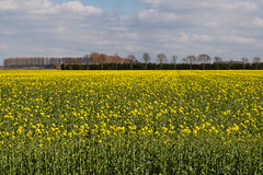 A field with rapeseed (jan.vd.wolf) Tags: betuwe holland thenetherlands gelderland nederland nl