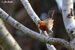 Robin (Jen Buckle) Tags: rspb robin robinredbreast bird birds grub insect branch nature wildlife nikon jenbuckle wwwflickrcompeoplejenbuckle