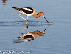 nose to the task (fins'n'feathers) Tags: avocet americanavocet reflection water wading stalking feeding arizona gilbert riparianpreserve animal wildlife