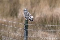 Gloomy day visitor. (nondesigner59) Tags: shortearedowl asioflammeus nature bird predator wildlife copyrightmmee eos7dmkii nondesigner nd59