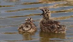 Black-headed gull chicks - Brownsea Island Dorset (Ann Collier Wildlife & General Photographer) Tags: blackheadedgull chicks brownseaisland pooleharbour dorset dorsetwildlife birds bird island