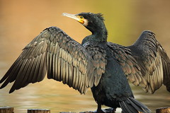Great cormorant (Teruhide Tomori) Tags: takaragaikepond kyoto bird nature water aquaticbird wild animal rakuhoku japan japon cormorant 鵜 宝ヶ池 野鳥 鳥 水鳥 京都 日本 自然