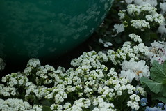 DSC00597- Flower Time for All (oliveplum) Tags: poinsettiawishes2018 sony singapore leica60f28macro flowerdome gardensbythebay white flower bokeh