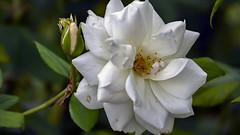 White Rose in Nice, France 6/10 2018. (photoola) Tags: nice blommor vit flower fiori blumen kwiaty white nature france