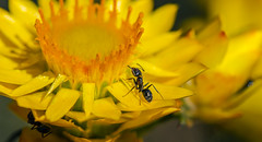 Meat Ants (Iridomyrmex purpureus) on a Golden Everlasting Daisy (AWLancaster) Tags: macroflower macroinsect ant meatant unclose nature shepparton wow beautiful macrolens canon7d canonmacro100mm28