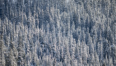 Snow Covered Trees (s.d.sea) Tags: snow alpental mountains mountain winter cascades snoqualmie summit washington washingtonstate wa pnw pacificnorthwest pentax k5iis 55300mm telephoto clouds weather moody mood white blue terrain cliffs december outdoors outside trees