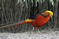 Golden pheasant (K.Verhulst) Tags: goudfazant goldenpheasant fazant pheasant birds vogels blijdorp diergaardeblijdorp rotterdam