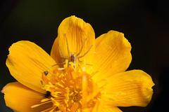 My Yellow Trap - _TNY_0727 (Calle Söderberg) Tags: macro canon canoneos5dmarkii canon5dmkii canonef100mmf28usmmacro canon5dmarkii 5d2 flash meike mk300 glassdiffusor raynox dcr250 blackbackground arachnida araneae pisauridae dolomedes fimbriatus kärrspindel raftspider spider spindel yellow orange flower globeflower trollius chinensis goldenqueen smörboll kinesisksmörboll trap waiting f22