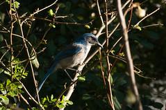 California Scrub-Jay (phoca2004) Tags: bird birding d90 lafayettepark nikon sanfrancisco californiascrubjay aphelocomacalifornica