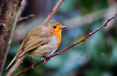 Robin. (Chris Kilpatrick) Tags: chris canon canon7dmk2 sigma150mm600mm sigma outdoor wildlife nature bird animal robin springwatch douglas isleofman garden