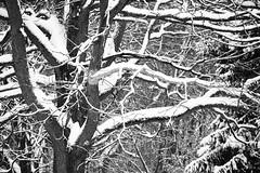Winter Contrasts (Modkuse) Tags: monochrome bw blackandwhite snow snowing nature natural trees fujifilm fujifilmxt2 xt2 xf55200mmf3548rlmois fujinon fujinonxf55200mmf3548rlmois art artphotography photoart fineartphotography fineart