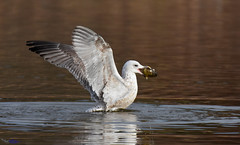 Gull with freshwater pearl muscle shell. (spw6156 - Over 7,255,008 Views) Tags: gull with freshwater pearl muscle shell copyright steve waterhouse