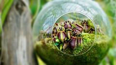 Carnivorous Plant | Singapore (Paul Tocatlian | Happy Planet) Tags: carnivoreplant plant flower flowerdome singapore asiafavorites happyplanet