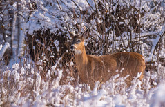 Roughing It... (ragtops2000) Tags: deer whitetailed male young winter cold foraging nature wild hidden pose food standing detail sunlight