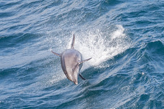 Jumping Joy (tourtrophy) Tags: dolphin newzealand milfordsound canoneos5dmark3 canonef100400mmf4556lisiiusm