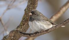 Junco (Lynn Tweedie) Tags: wood beak tail wing canon ngc animal 7dmarkii feathers junco bird eye sigma150600mmf563dgoshsm eos tree missouri branch