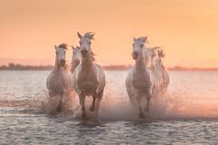 Running Beauties (Iurie Belegurschi www.iceland-photo-tours.com) Tags: adventure beautiful beach coastal daytours dreamscape earth enchanting equine equines equestrian europe european fineart fineartlandscape fineartphotography fineartphotos guidedphotographyworkshops guidedphotographytour horse horses horsesrunning icelandphototours iuriebelegurschi landscape landscapephotography landscapephoto landscapes landscapephotos nature outdoor outdoors ocean orange phototours phototour summer serene sunset seascape tours travel travelphotography view workshop workshops water camargue france french southernfrance whitehorses whitehorsesofcamargue