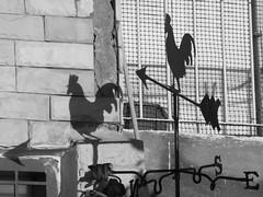 Shadow of a Rooster B&W (zeevveez) Tags: זאבברקן zeevveez zeevbarkan canon shadow bw wind