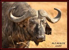 AFRICAN BUFFALO (Syncerus caffer)......MASAI MARA.....SEPT 2018. (M Z Malik) Tags: nikon d3x 200400mm14afs kenya africa safari wildlife masaimara keekoroklodge exoticafricanwildlife africanbuffalo npc