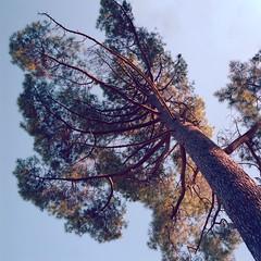Tree tops (lebre.jaime) Tags: portugal beira covilhã jardimbotânicodemontanha tree treetop analogic film film120 hasselblad 503cx distagon cf4050fle epson v600 affinity affinityphoto mf mediumformat squareformat kodak portra160120 portra160