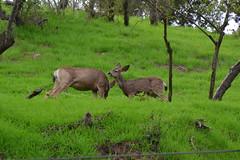 DSC_0056 (tracie7779) Tags: blacktaileddeer losangeles muledeer thegettymuseum california grass hillside