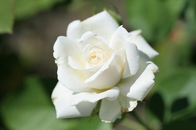 Обои нежность, размытый фон, белая роза картинки на рабочий стол, раздел цветы - скачать