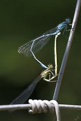 Große Pechlibelle / Blue-tailed damselfly (uwe125) Tags: tiere insekten libelle pechlibelle insect dragonfly animal macro makro bluetaileddamselfly paarungsrad