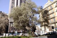 OLIVERA (PLAÇA D'URQUINAONA) (Yeagov_Cat) Tags: carrerrogerdellúria carrerrogerllúria carrerdausiàsmarc carrerausiàsmarc 2019 barcelona catalunya olivera plaçaurquinaona plaçadurquinaona urquinaona