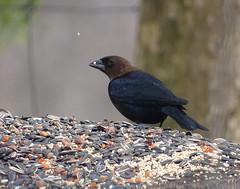 BHCO DSC09374 (clausholzapfel) Tags: feeder brownheaded cowbird