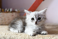 Kitty (petr.petrov) Tags: animal cat domestic pet homeless shelter face eyes cats animals russia