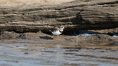 Three-banded Plover (1390) (Bob Walker (NM)) Tags: bird standing wateredge plover threebandedplover charadriustricollaris somalisacamp hwangenationalpark zimbabwe