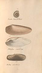 n74_w1150 (BioDivLibrary) Tags: greatbritain mollusks museumsvictoria bhl:page=57640283 dc:identifier=httpsbiodiversitylibraryorgpage57640283 conchologicaldictionary conchology shells britishisles britishislands williamturton british