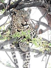 Leopard (Thomas Retterath) Tags: 2016 africa afrika allrightsreserved animals bigfive botswana carnivore copyrightthomasretterath felidae kwara leopard mammals natur nature okavangodelta pantherapardus predator raubtiere säugetier thomasretterath tiere wildlife