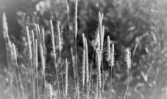 greyscale summer image (EllaH52) Tags: summer grass greyscale monochrome blackwhite vignetting bokeh nature trees wood forest light shadows