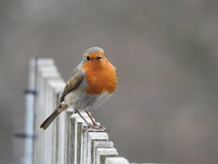 Robin (Simply Sharon !) Tags: robin bird gardenbird wildlife britishwildlife nature inthegarden gardenvisitor march