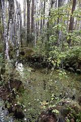 DSC6839 (Starcadet) Tags: orlando alligator krokodil gator gatorland florida glades sumpf zoo hunger tiere fressen nilkrokodil aufzuchtstation