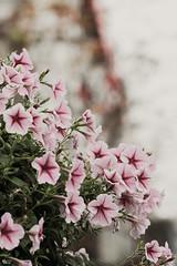 Dạ yến thảo (Petunia) (luongsangit58) Tags: xt10 fujifilmxt10 fujifilm fuji flower 135mm hoa hoaban minolta