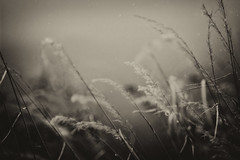 Silence moments (Pan.Ioan) Tags: nature outdoors plants grass blades monochrome blackandwhite beauty beautiful clouds day closeup fragility rain