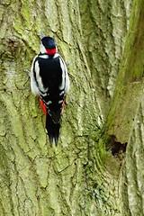 DSC04209 - Great spotted Woodpecker (steve R J) Tags: great spotted woodpecker south hanningfield reservoir ewt reserve essex birds british