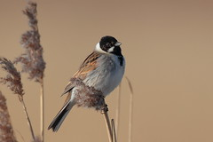 Reed Bunting (Hammerchewer) Tags: reedbunting bird male wildlife outdoor reeds